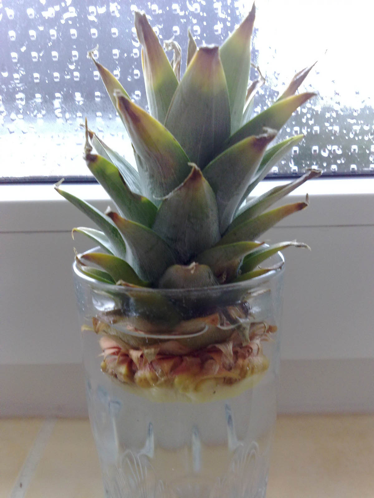 anzuchtanleitung ananas vegetative methode vegetation