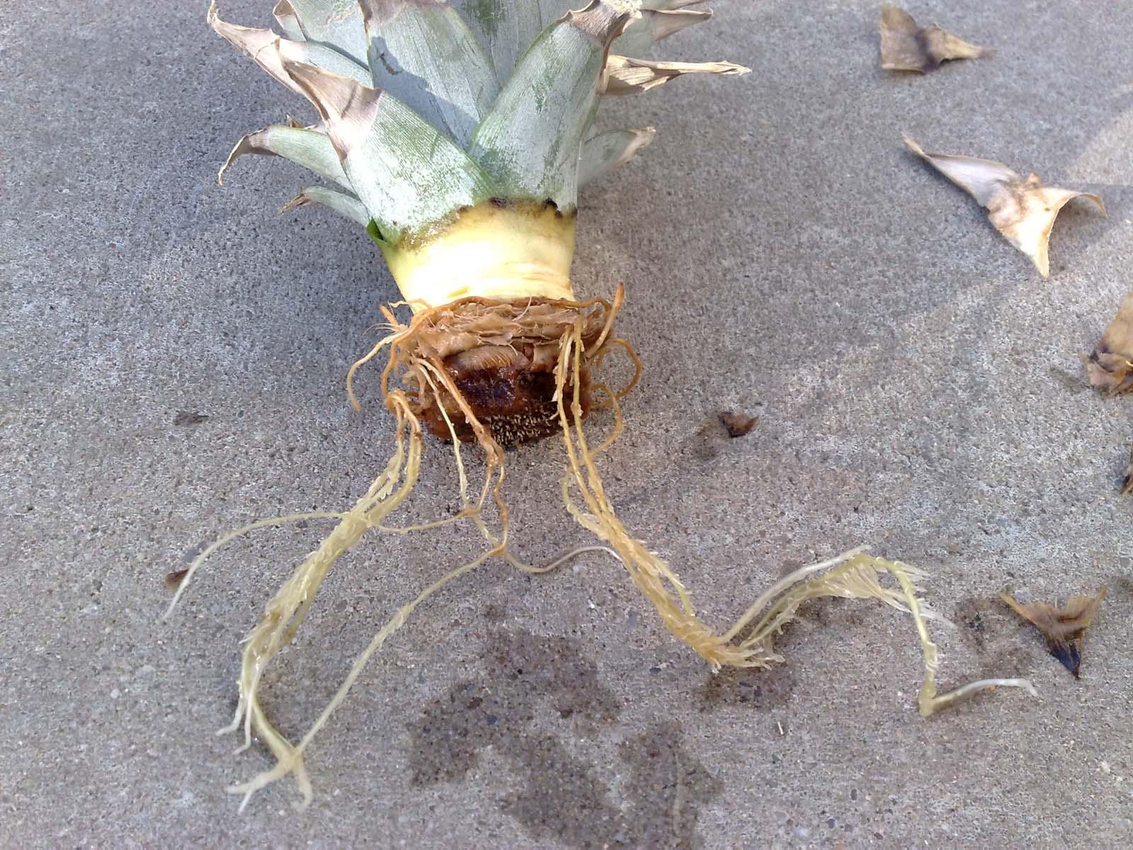 anzuchtanleitung ananas vegetative methode vegetation. Black Bedroom Furniture Sets. Home Design Ideas
