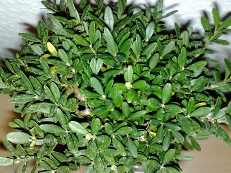 bonsai_121111_1