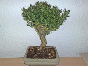 bonsai_121111_2