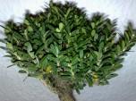 bonsai_121111_3