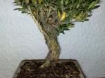 bonsai_121111_4