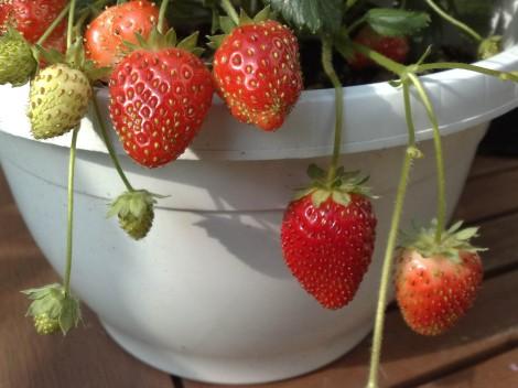 erdbeeren_rosana_1