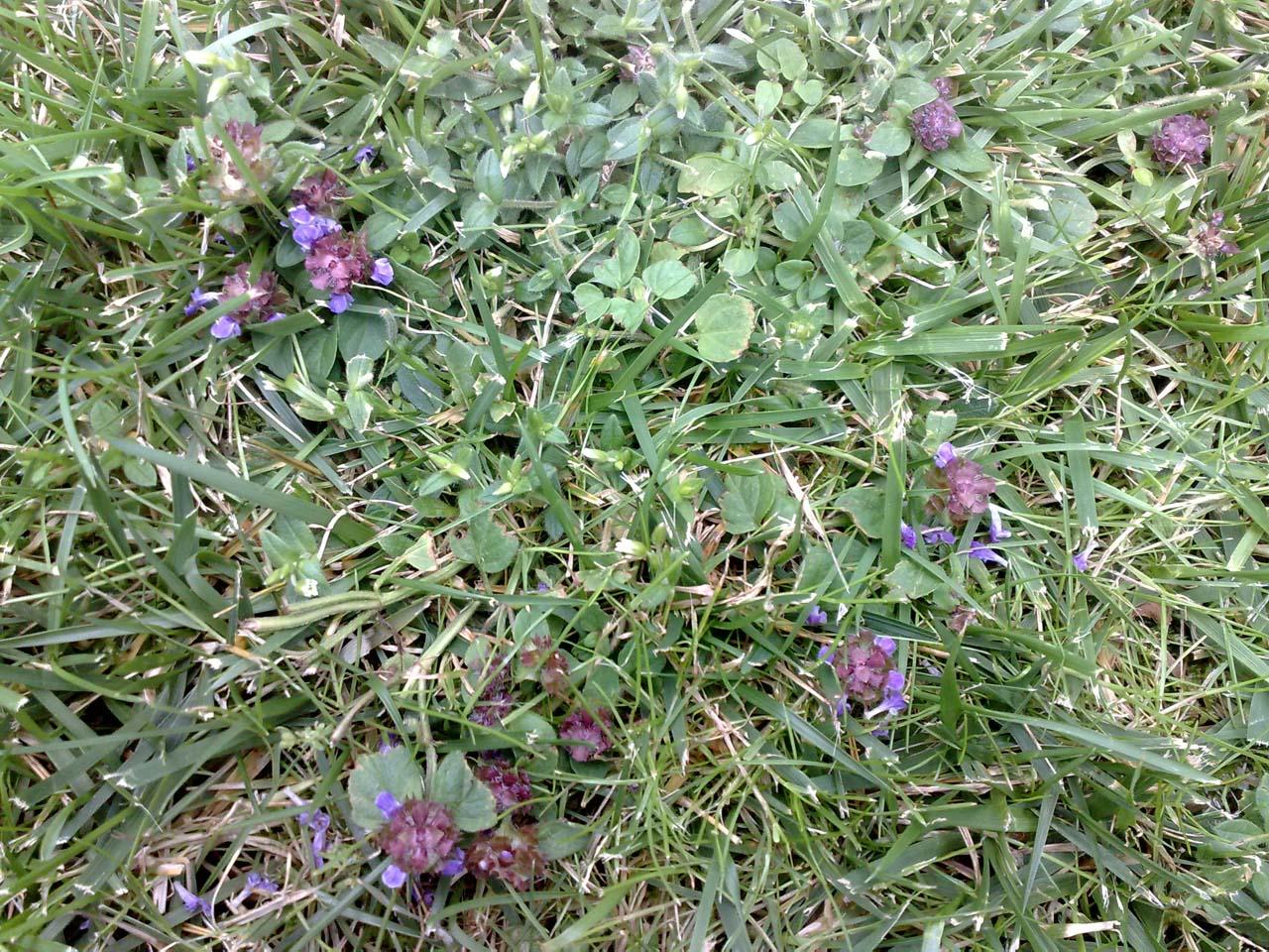 geliebtes unkraut prunella vulgaris die kleine braunelle vegetation daheim. Black Bedroom Furniture Sets. Home Design Ideas
