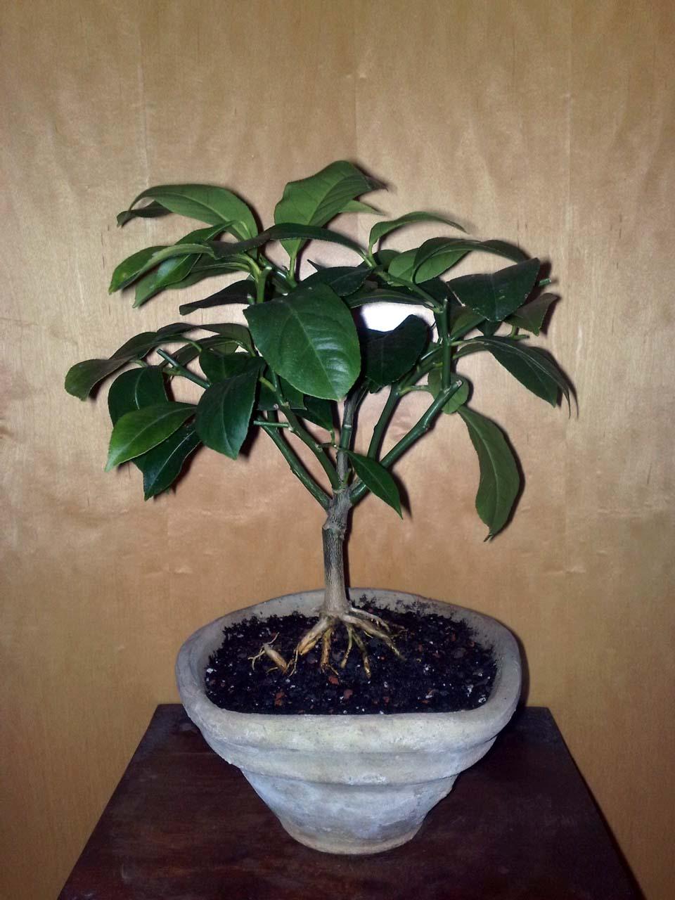 der instantbonsai vom unscheinbaren strauch zum bonsai. Black Bedroom Furniture Sets. Home Design Ideas