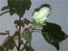 baumwolle_gossypium_herbaceum