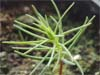 bergmammutbaum_sequoiadendron_gigantea