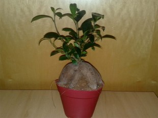 ficus_microparca_ginseng_1