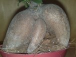 ficus_microparca_ginseng_3