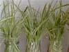 grünlilie_chlorophytum_comosum