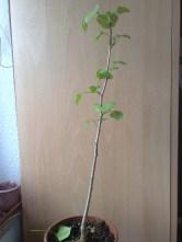 fruehjahrs_pflanzenraritaetenmarkt_gruga_ginkgo_biloba_270413
