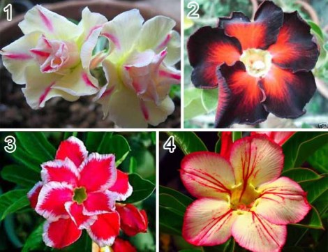 adenium_obesum_LEMON_PINK_BLACKMAGIC_DOUBLE_SANTA_TONGDARA