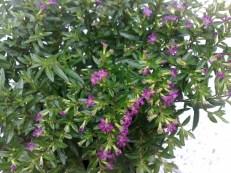cuphea_hyssopifolia_060813_3