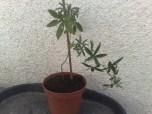 passiflora_caerulea_060813_3