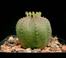 Euphorbia obesa, weiblich.