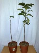 #1 #2 Adansonia digitata