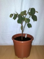 #2 Bauhinia variegata