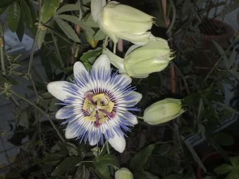 passiflora_caerulea_121213_1