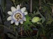 passiflora_caerulea_121213_2