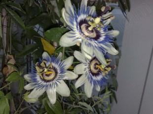 passiflora_caerulea_131213_1