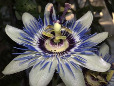 Passiflora caerulea - die blaue Passionsblume