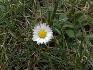 gänseblume_150214