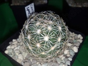 Coryphantha spec. 7321