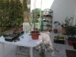passiflora_caerulea_010414_3