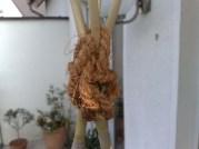 passiflora_caerulea_010414_5