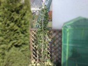 passiflora_caerulea_010414_6