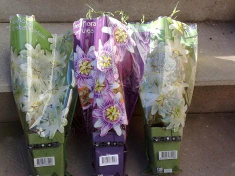 passiflora_caerulea_constance_elliot_1