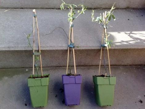 passiflora_caerulea_constance_elliot_2