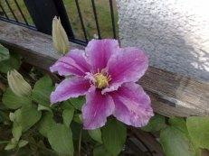 die gewöhnliche Blüte der Clematis