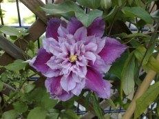 eine gefüllte Blüte an der selben Pflanze!