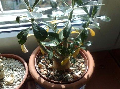 ältere Pflanze vom Züchter