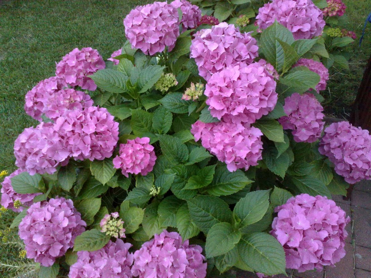 hydrangea macrophylla bl tenwunder hortensie. Black Bedroom Furniture Sets. Home Design Ideas