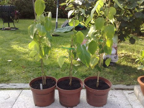 Passiflora_ligularis_230614_3