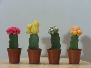 gepfropfte Kakteen (Quelle: http://commons.wikimedia.org/wiki/File:Cactus_display.jpg. CC BY-SA 3.0)
