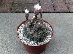 vegetation daheim seit dem ich gezielt nach speziellen kaktusarten. Black Bedroom Furniture Sets. Home Design Ideas