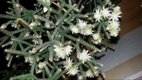 Rhipsalis pilocarpa (Foto: Bernhard Lingnau)