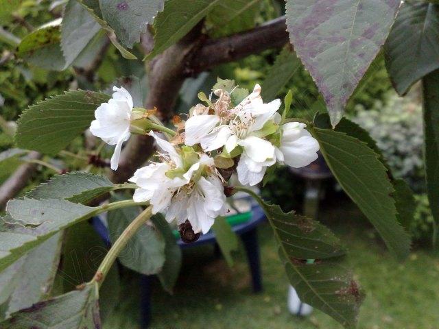 Kirschblute Im August Kommt Nun Der Fruhling Vegetation Daheim