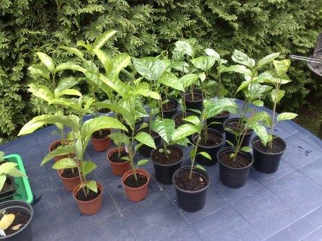 Passiflora edulis Anzucht 2014