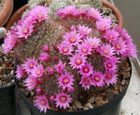 Kaktus des Jahres 2015: M. zeilmanniana (Quelle: http://en.wikipedia.org/wiki/Mammillaria_zeilmanniana#mediaviewer/File:Mammillaria_zeilmanniana.jpg)