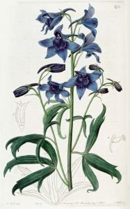 Rittersporn (Quelle: https://commons.wikimedia.org/wiki/File:Delphinium_cheilanthum_Plate473.jpg)