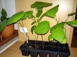 Ficus carica (Aussaat 2014)