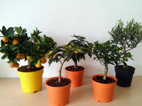 v.l.n.r.: Calamondin-Orange, Kumquat, Oval-Kumquat, Kumquat, Olive