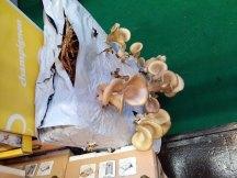 Austernseitlinge auf der IPM 2015