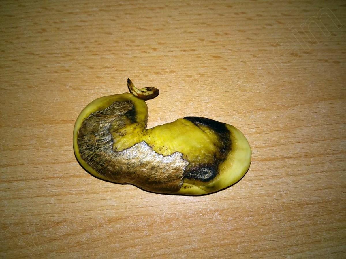 mango samen einpflanzen