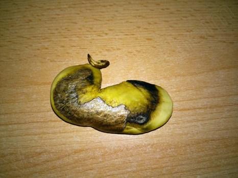 Mangokern mit freigelegter Wurzel