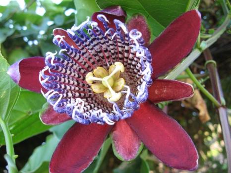 Passiflora alata (Quelle: Leonardo Ré Jorge, CC BY-SA 2.0)